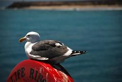 Santa Barbara Seagull