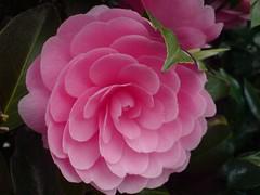 taste (dmixo6) Tags: city pink flowers light urban flower beauty gardens night vancouver garden day blossom fave shade zen balance moment blooming loveartflowers dmixo6