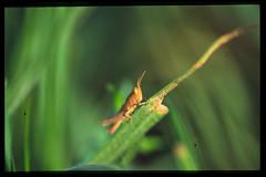Grasshopper (Fulco le Bon) Tags: macro insect grasshopper makro insekt cavalletta saltamontes grashpfer chapuln tucura