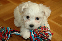 Phoebe (Natalia Romay) Tags: dog pet baby white cute beautiful animal puppy amazing interesting funny canine can perro blanca phoebe animales maltese mascota interesante maltes bichonmaltes 250views theperfectphotographer goldstaraward maltesemaniaccom nataliaromay cutemaltese lasmasvistas