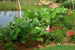 thaumatococcus danielli (rhmn) Tags: landscaping tropical plans ideas shrubs danielli thaumatococcus