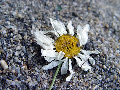 dead daisy by the side of the road