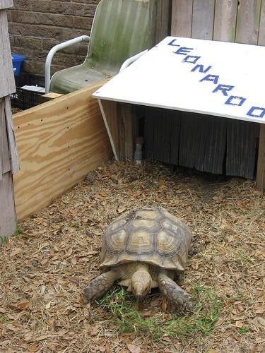 السلحفاه الصحراويه (desert tortoise