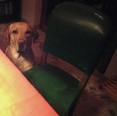 Sitting, waiting, wishing (dangeri.away) Tags: dog chien pet loving labrador buddy perro athome doc doggie perrito musetto petlover thelittledoglaughed heismylove doggielife miocucciolo ourdailylife hehasanadorablesnout