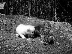 micetti (Janie's got gun) Tags: blackandwhite cats white black animal bn bianco nero gatti animali biancoenero