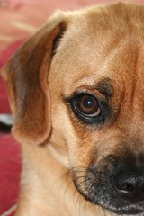 Hypnotizing You with Cuteness (The Autism Mom) Tags: dog eye puppy adorable half cuteness beautifuleyes puggle