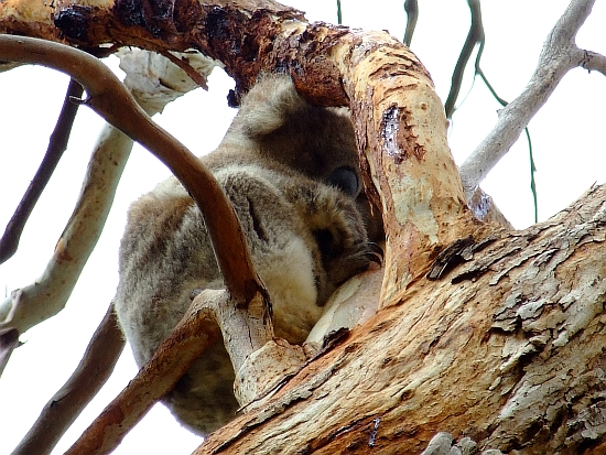another sleeping koala