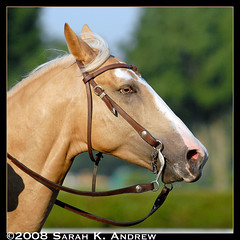 Pony with an Amber Eye (Rock and Racehorses) Tags: light summer horses horse ny newyork color eye beautiful racetrack amber paint track champagne saratoga july racing explore pony unusual blaze d200 spa thoroughbred palomino