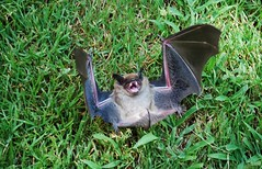 This Was Bat Number 8, 8-8-08 (Zeusandhera) Tags: green feet halloween smile grass animal photoshop nose flying wings furry teeth tail bat ears belly underside ear fangs flapping 888 2008 flap cranky span chiroptera kindacute notbatman wantsahug noravampire
