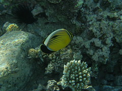 Pez mariposa exquisito / Exquisite butterflyfish (Chaetodon austriacus)