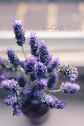 sorry more lavenders by the window sill by serendipity corner
