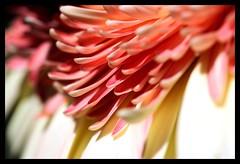 Pink Ruffles (scrapping61) Tags: california pink white flower macro gerbera 2008 flowerotica bej amazingamateur theunforgettablepictures brillianteyejewel scrapping61 amongstthethorns daarklands