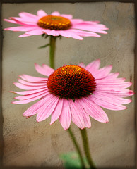 ~Textured Duo~ (Brenda-Starr) Tags: flowers flower macro texture nature photoshop canon garden flora coneflowers searchthebest canon350d ef100mmf28 canonrebel excellence fantasticflowers lifeasiseeit brendastarr allrightsreserved bej inadesignphotography march2007 platinumphoto colorphotoaward impressedbeauty ultimateshot empryreanflowers theperfectphotographer betterthengood multimegashot explore446aug312008 artistictreasurechest