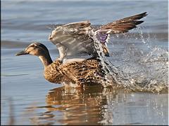 Take off. (jimmyedmonds) Tags: gulls swans puffins bestofthbest ducksswanspuffins