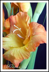 Sunshine with Droplets (♥ Katie ann. Off more than on.) Tags: flower floral fleur flora breathtaking gladiolus bestofthebest flowerpictures fantasticflower mywinners magicofaworldinmacro brilliant~eye~jewel goldsealofquality flickrsfantasticflowers macromarvels flowersmacroworld cherryontopphotography flowerbudsandblossoms allkindsofbeauty damniwishidtakenthat sensationalcreationsofexcellence simplythebest~flowers theenvyandenviedphotosonflickr allkindsofmacrosandcloseups theflowerbasket dragondaggerawards empyreanflora dragonflyawards photosandframes
