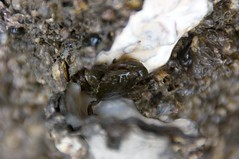 牡蠣の貝殻に隠れる
