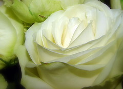 The choices we make every day, dictate the life we lead. To thine ownself be true! (Nikki O :-D) Tags: life white flower macro rose flora truth glow innocent choices pure excellenceinfloralphotography awesomeblossoms
