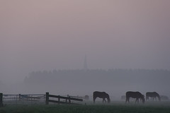 the cows that agriculture won't allow (beeldmark) Tags: mist holland netherlands landscape europa europe utrecht nederland agriculture landschap  schalkwijk johncale horsesinthemist tamron18250 beeldmark hankypankynohow buteijnknowsthisplacetoo thecowsthatagriculturewontallow