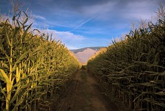 corn forever (Vida Morkunas (seawallrunner)) Tags: autumn beautiful warm bc desert peaceful similkameen osoyoos cwall ranchlands bunchgrass keremeos chopaka