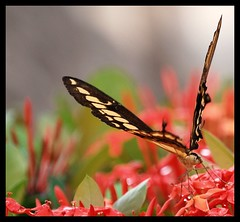 butterfly (tiffa130) Tags: red flower color macro field butterfly insect mexico puerto nikon focus dof bokeh stock creative free jalisco commons depthoffield cc v creativecommons stockphotos vallarta puertovallarta dslr depth pv stockphoto flowersplants depthoffocus nikoncamera shallowfocus freepics flickrstock tiffa photobytiffany nikondslr freestock 10millionphotos nikond40x d40x freestockphotos freestockphotography tiffanyday photosbytiffa photobytiffa