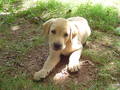 Brando - yellow Labrador Retriever