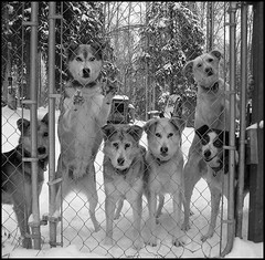 Um....It's Snowing! (dr.Ozda) Tags: snow storm alaska toaster sandy ruby fairbanks sleddog dogteam beingthere cholie alaskahusky thelittledoglaughed drozda churrie