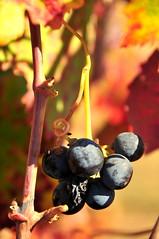 Grapes (Helena W) Tags: autumn plant flower botanical fallcolor sonoma winecountry leavessonoma