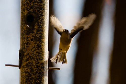Nuthatch taking off
