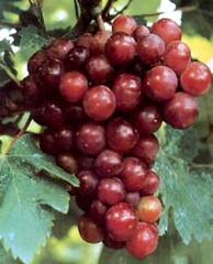 Фото 1 - Виноград и сердечная мышца