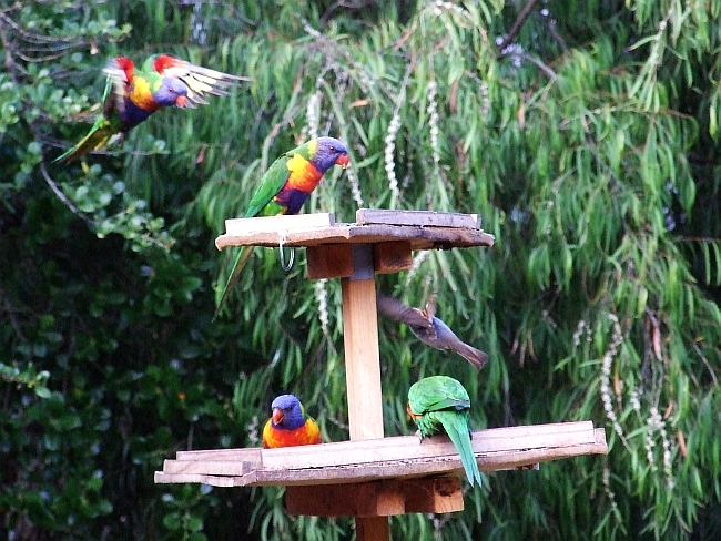 four lorikeets one sparrow