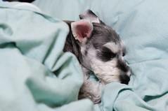 [フリー画像] [動物写真] [哺乳類] [イヌ科] [犬/イヌ] [ミニチュア・シュナウザー] [寝顔/寝相/寝姿]     [フリー素材]