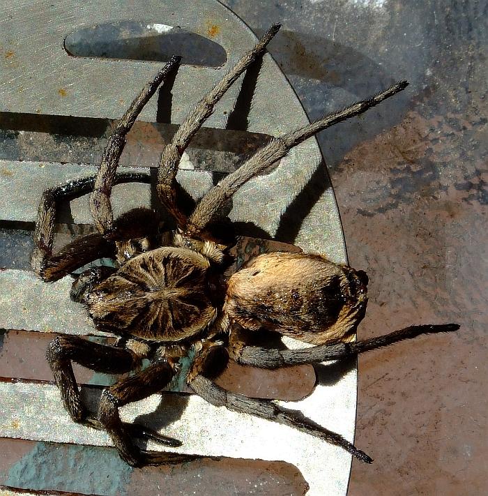 same dead spider