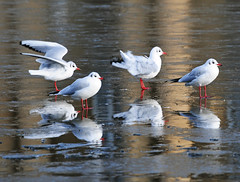 Holiday on Ice (Habub3) Tags: travel holiday ice nature birds animal fauna reflections germany deutschland photo nikon europa europe stuttgart urlaub explore vgel eis vacance tier reise reflexionen d300 holidayonice viewonblack theunforgettablepictures imagesforthelittleprince habub3