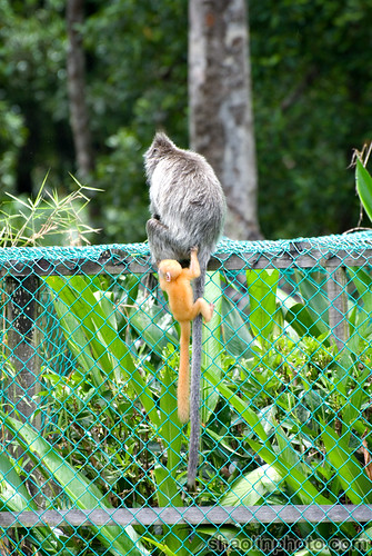 Juvenile Silverred or Langur/Lutung Leaf Monkey