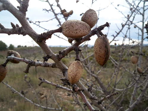 almond-navajas