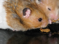 Hamsters (Hrafnkell Arason) Tags: hamsters