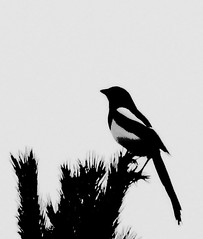 Bird silhouette (Peter D..) Tags: christmas winter sky bw white black tree bird birds silhouette top profile silouette distillery visualart profil birdwatcher fgel siluett passionphotography photographyrocks copyrightallrightsreserved flickrestrellas artofimages peterdejeborn