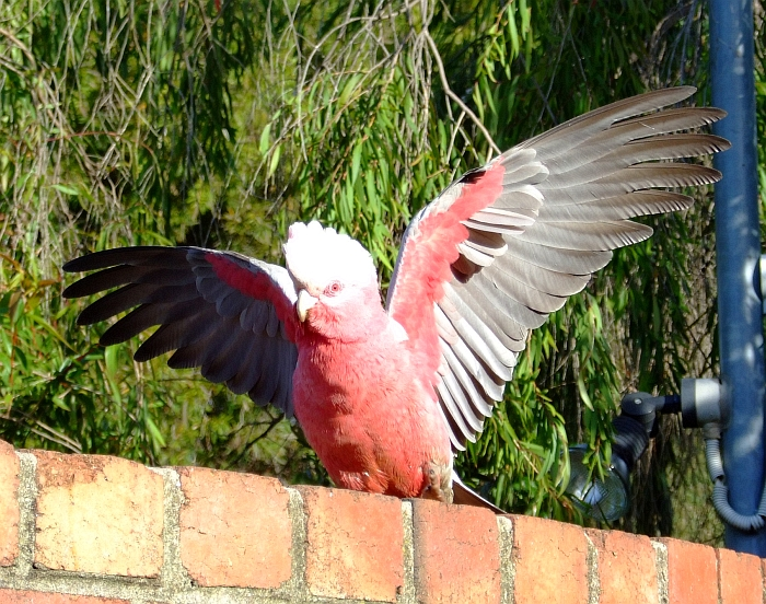 another galah 03
