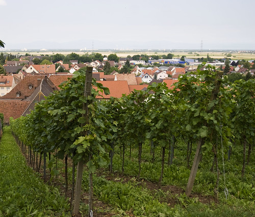 Wineyards of famous Auggen wine