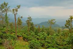 Tea Plantation - Ponmudi (thejasp) Tags: india green colors landscape colours tea kerala indien hillstation teaplantation trivandrum westernghats keralam plantations teaestates  ponmudi       sdindien             suurindland