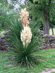 Yucca in Bloom (M.P.N.texan) Tags: flowers white flower texas yucca blooming goliadstatepark