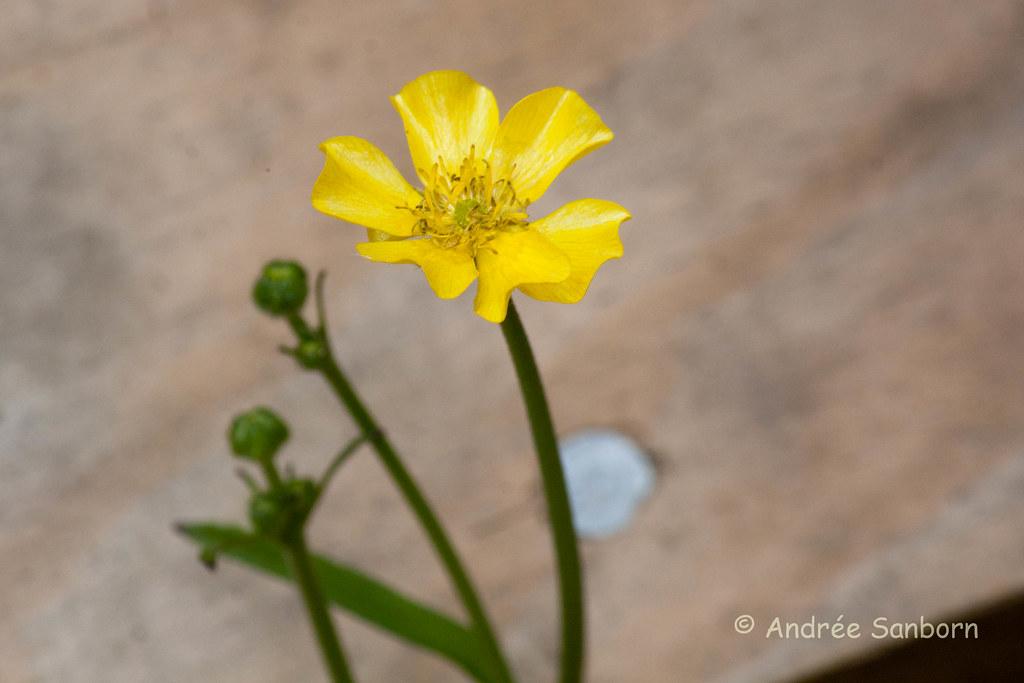 Unidentified 6 petal wildflower-1.jpg