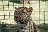 Amur Dignity (JSleeper) Tags: oregon amurleopard greatcatsworldpark