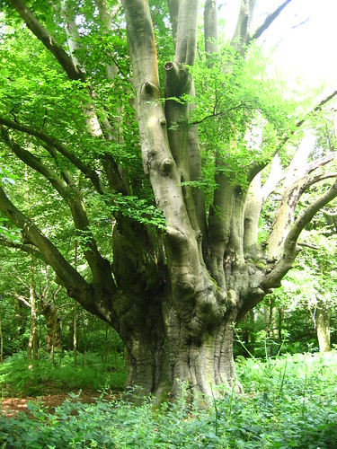 Old pollarded oak