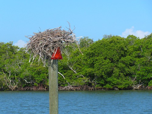 IMG_5682-Estero-Bay-osprey-nest