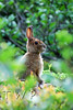 Summer Buffet (WanderWorks) Tags: brown canada rabbit green nature forest newfoundland fur snowshoe mammal hare labrador wildlife ears dsc3366fmg