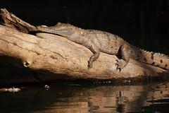 Katherine Freshie (fantommst) Tags: nt au australia crocodile northern territory freshwater crocodylusjohnstoni crocodylusjohnsoni freshiefreshwatercrocodilecrocodylus johnsonicrocodylus jkatherinerivernitmiluknationalparknorthern territoryfreshie