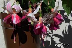 Fuchsia 'Satellite' #2 (pennyeast) Tags: plant flower macro home nature garden southafrica botanical bush fuchsia capetown shrub plantae upright mygarden westerncape onagraceae papaalphaecho myfuchsia