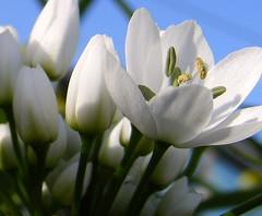 White tulip (raffaphoto©) Tags: flowers white flower macro nature tulip fiori fiore bianco raffaella tulipani supershot superbmasterpiece diamondclassphotographer ysplix theunforgettablepictures goldstaraward lucienagheen flickrloversflickrısevenler