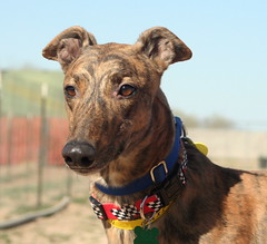 Hey....I've been adopted!!!! (AZ Greyhound Rescue) Tags: boy greyhound beautiful is hound most sighthound important dogrescue resuce greyt a gazehounds